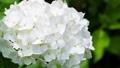 アジサイ 花 植物の動画 35605210