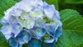 アジサイ 花 植物の動画 35605211