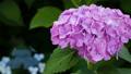 アジサイ 花 植物の動画 35605214