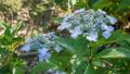 绣球花 花朵 花卉 35605217