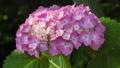 アジサイ 花 植物の動画 35605221