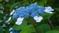 アジサイ 花 植物の動画 35605223