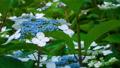 アジサイ 花 植物の動画 35605224