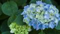 アジサイ 花 植物の動画 35605227
