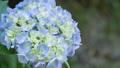 アジサイ 花 植物の動画 35605232