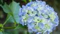 アジサイ 花 植物の動画 35605234