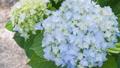 アジサイ 花 植物の動画 35605236