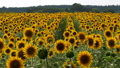 Sunflowers in the Field Swaying in the Wind 35613918