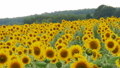 Sunflowers in the Field Swaying in the Wind. Slow 35613950