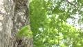 メタセコイヤの緑の葉 35636330