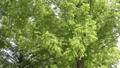 風に揺れるメタセコイヤの枝葉 35636331