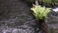 池山水源の流れとシダ 35636337