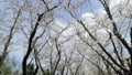 ดอกซากุระบาน,ซากุระบาน,ดอกไม้ 35662601