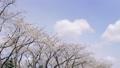 ดอกซากุระบาน,ซากุระบาน,ดอกไม้ 35662602