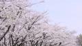 ดอกซากุระบาน,ซากุระบาน,ดอกไม้ 35662840