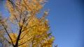 イチョウ 銀杏 青空 風景 並木 日本 関東 快晴 黄色 秋 季節 秋イメージ 35672258