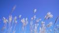 仙石原の秋の風物詩・ススキ原 35697998