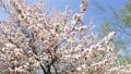 ดอกซากุระบาน,ซากุระบาน,ฤดูใบไม้ผลิ 35721488