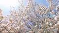ดอกซากุระบาน,ซากุระบาน,ฤดูใบไม้ผลิ 35721490