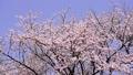 ดอกซากุระบาน,ซากุระบาน,ดอกไม้บานเต็มที่ 35721537