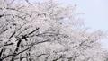 ดอกซากุระบาน,ซากุระบาน,ดอกไม้ 35721541