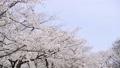 ดอกซากุระบาน,ซากุระบาน,ดอกไม้ 35877375