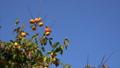 富有柿 甜脆柿 日本柿 35887354
