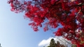楓樹 紅楓 楓葉 35894296