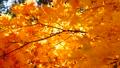 秋の北海道 秋晴れと紅葉 35923499