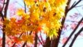 秋の北海道 秋晴れと紅葉 35923502