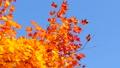 秋の北海道 秋晴れと紅葉 35923507