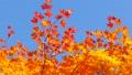 秋の北海道 秋晴れと紅葉 35923509