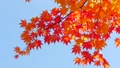秋の北海道 秋晴れと紅葉 35923510