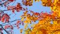 秋の北海道 秋晴れと紅葉 35925246