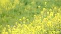 ดอกเรป,ดอกไม้,ทัศนียภาพ 35996336