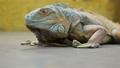 鬣蜥蜴 爬行动物 动物 36263474