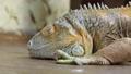 鬣蜥蜴 爬行动物 动物 36263517