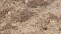 potato, farm, soil 36263536