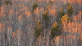 Autumn birch grove view from above 36299348