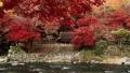 楓樹 紅楓 楓葉 36326853