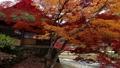 枫树 枫叶 红枫 36326854