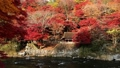 楓樹 紅楓 楓葉 36326855