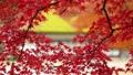 楓樹 紅楓 楓葉 36352082