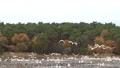 村上市Okuban和Oike Park的天鹅(早上) 36363466