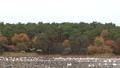 村上市Okuban和Oike Park的天鹅(早上) 36363467