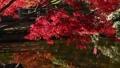 楓樹 紅楓 楓葉 36382835