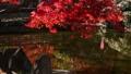 枫树 枫叶 红枫 36382837
