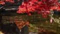楓樹 紅楓 楓葉 36382838