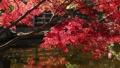 枫树 枫叶 红枫 36382840