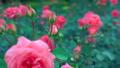Majestic pink rose blooming flower tender blossom 36396709
